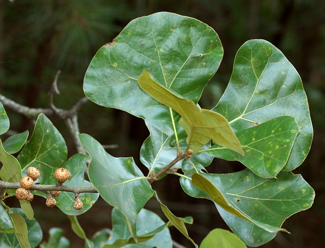 Quercus nigra   Water Oak  courtesy of John Campbell copyright  Quercus Nigra